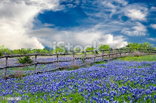 The state flower of Texas is interrupted by a cedar post and barbed wire fence under tranquil clouds in a bright springtime day