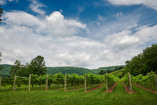 Clouds over the vineyard Crisp while clouds against a blue sky over a field go grape vines on the vineyard. charlottesville stock pictures, royalty-free photos & images