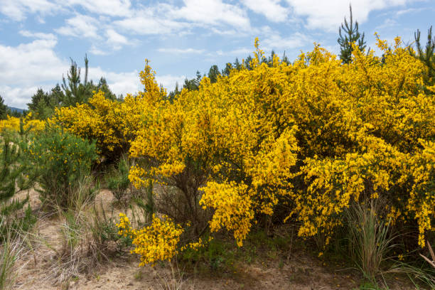 Cloudscape Landscape Nehalem Bay State Park Oregon Coast Scotch Broom stock photo