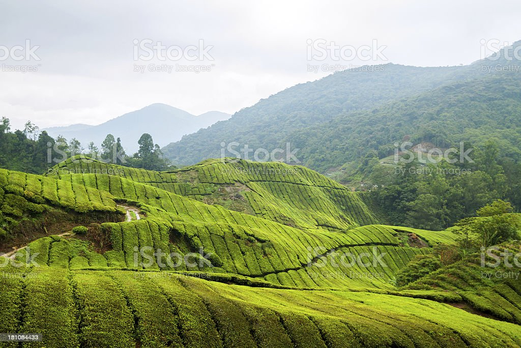 Cloudy day in tea plantation royalty-free stock photo