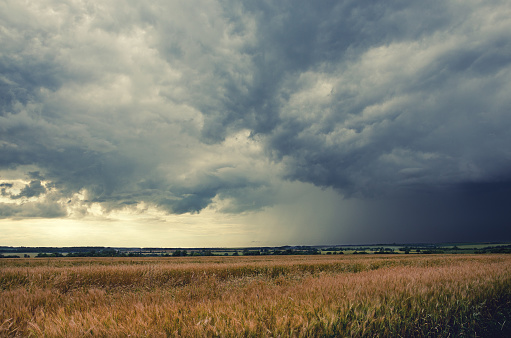 Cloudy summer landscape.Field of ripe wheat.Dark storm clouds in dramatic sky.Minutes before the heavy rain.