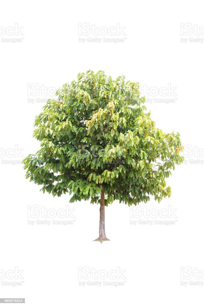 Clouseup Big Tree isolerad på vit bakgrund - Royaltyfri Fotografi - Bild Bildbanksbilder
