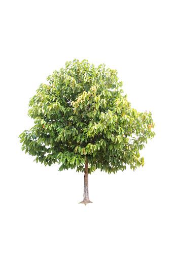 Clouseup Big Tree Isolerad På Vit Bakgrund-foton och fler bilder på Fotografi - Bild