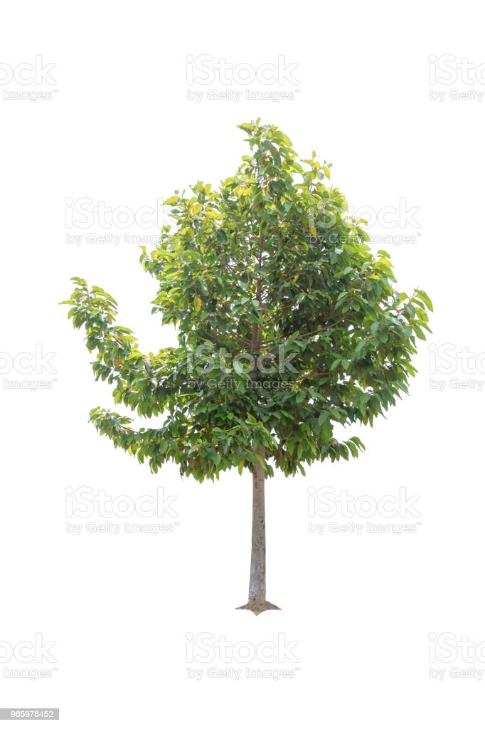 Clouseup Big Tree isolated on white background - Royalty-free Branch - Plant Part Stock Photo