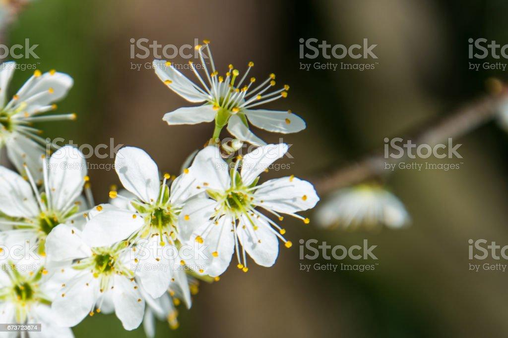 Clouseup of white plum flower photo libre de droits