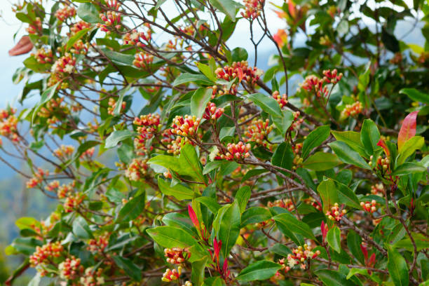 Clove tree with spicy raw flowers and sticks Clove tree with blooming  flowers, fresh green leaves and red raw buds growing in Indonesia. Tropical plants, natural food spices, producing aromatic ingredients and oil in mountains plantations. clove spice stock pictures, royalty-free photos & images