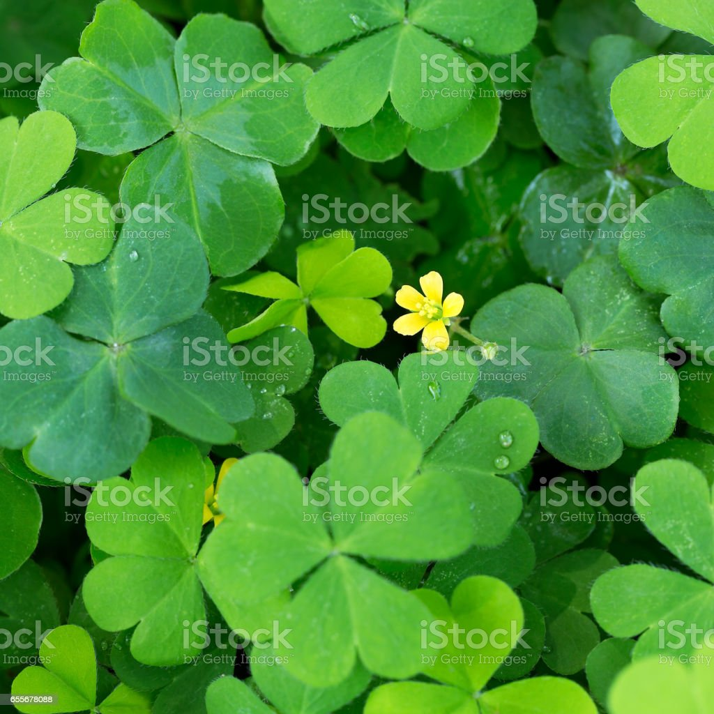 Clover And Little Yellow Flower Stock Photo More Pictures Of