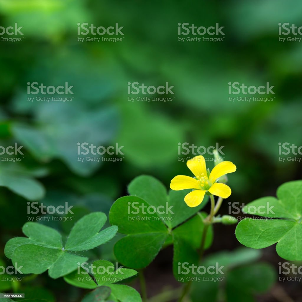 Clover and little yellow flower stock photo more pictures of clover and little yellow flower royalty free stock photo mightylinksfo Choice Image
