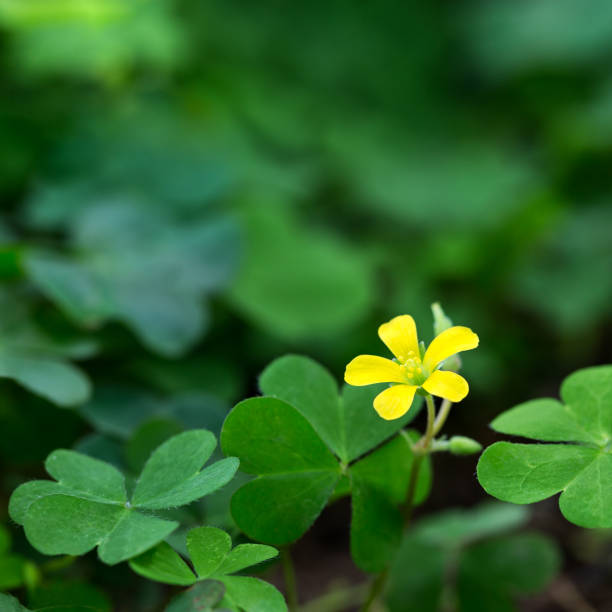 Clover and little yellow flower stock photo more pictures of clover and little yellow flower stock photo more pictures of backgrounds istock mightylinksfo