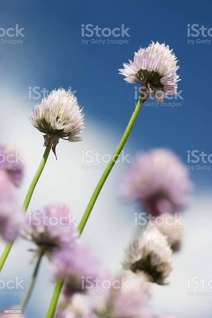 Clover Background royalty-free stock photo