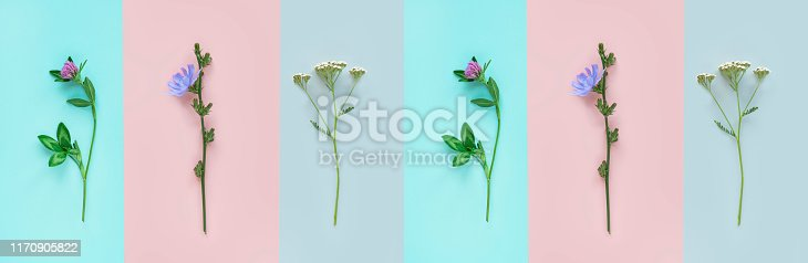 Medicinal herbs. Clover, chicory and yarrow on a colorful background, top view, copy space, flat lay, banner