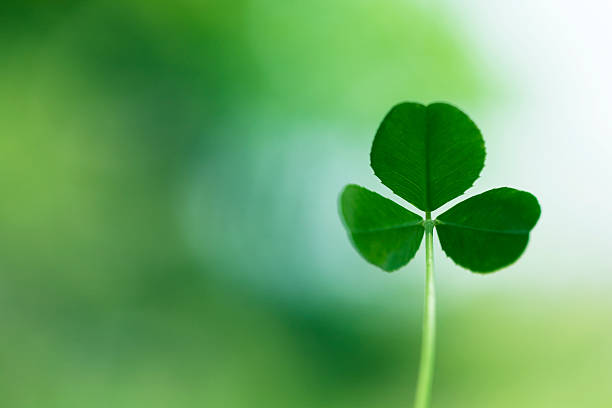 clover close up - st patricks days stock photos and pictures