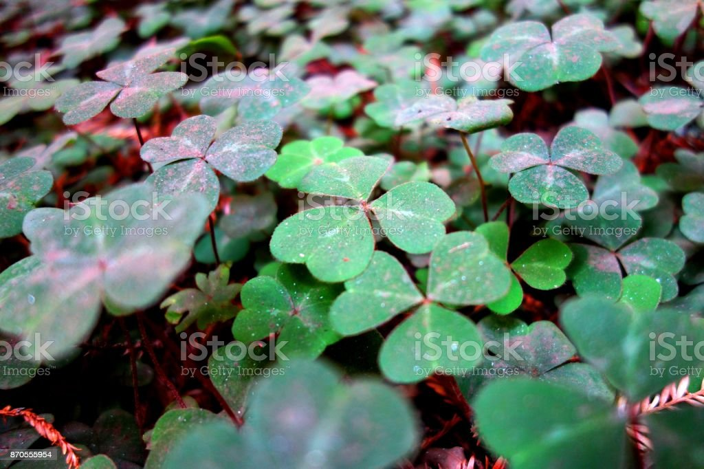 Clover covered in ash after forest fire nearby stock photo