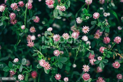 Clover Flower Field