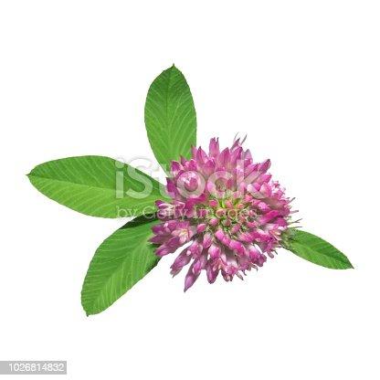 538450883istockphoto Clover flower isolated on white background 1026814832