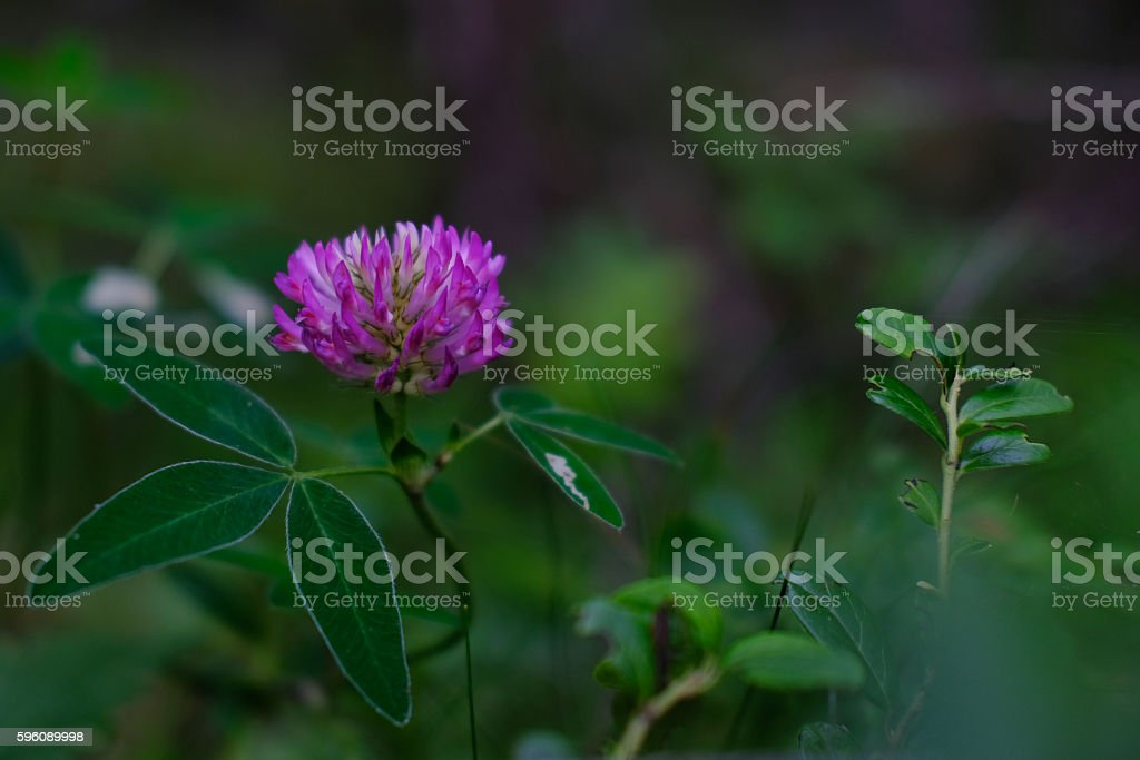 Clover flower royalty-free stock photo