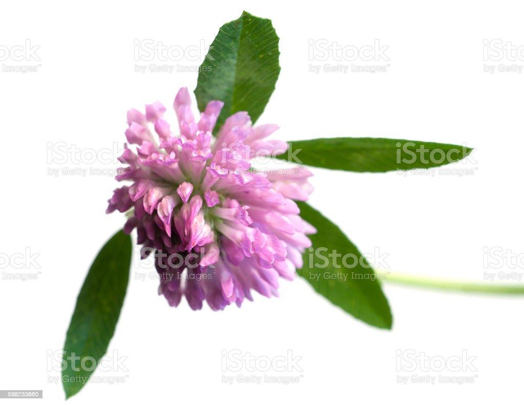 Flor de trevo  foto royalty-free