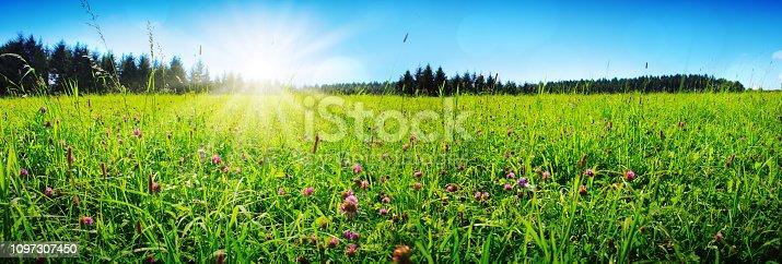 Wild pink clover in green grass field. Clover flowers field in sunset.