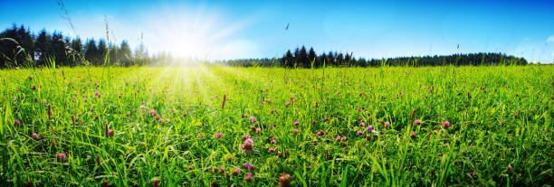 Clover flowers field in sunset. Wild pink clover in green grass field. Clover flowers field in sunset. meadow stock pictures, royalty-free photos & images
