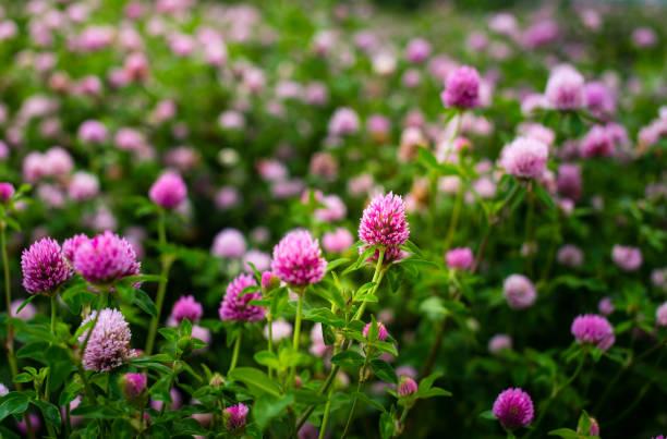 클로버 꽃, 붉은 토끼풀, 필드에 외부 - 새싹 뉴스 사진 이미지