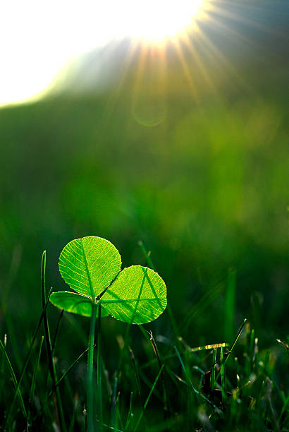 clover growing in the grass - low angle - luck of the irish stock photos and pictures