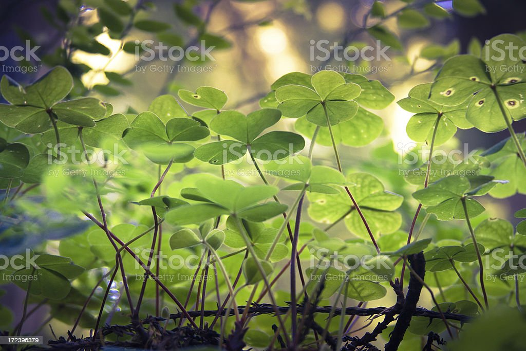 Clover in the Woods royalty-free stock photo