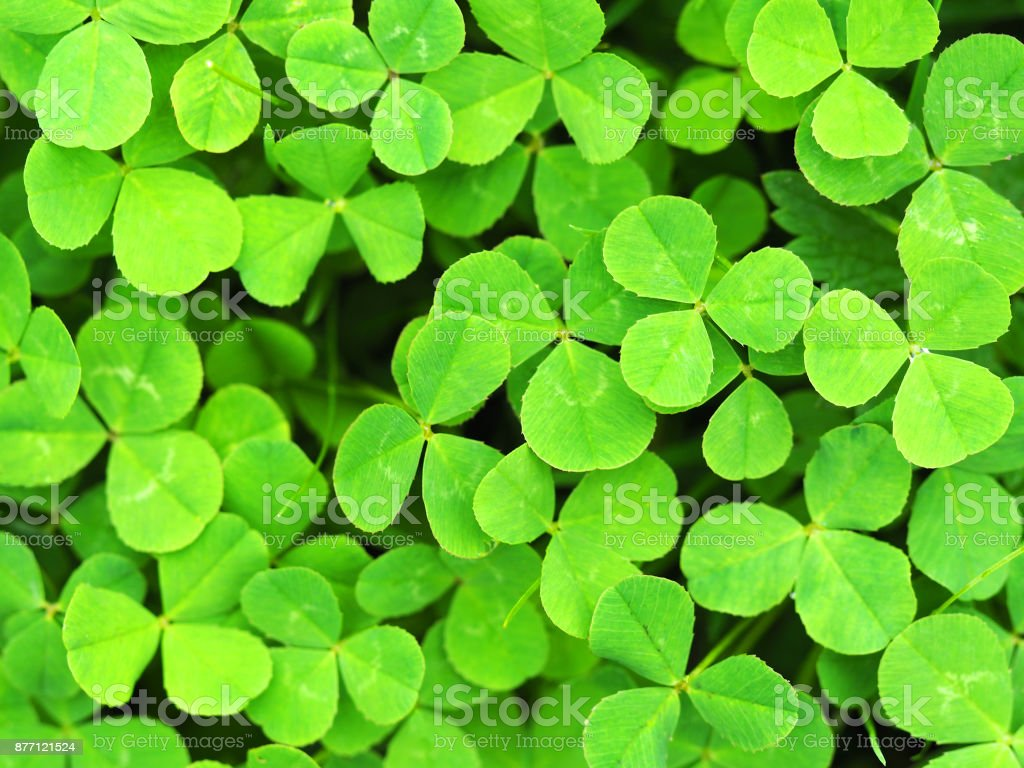 Clover is creeping, or Clover is white, or Dutch clover (Trifolium repens), melliferous. Clover leaf natural green background. Young green sprout plant, ornamental texture. Fresh leaves. stock photo