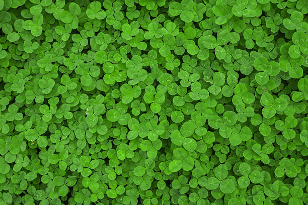 clover leaf background - klavertje vier stockfoto's en -beelden