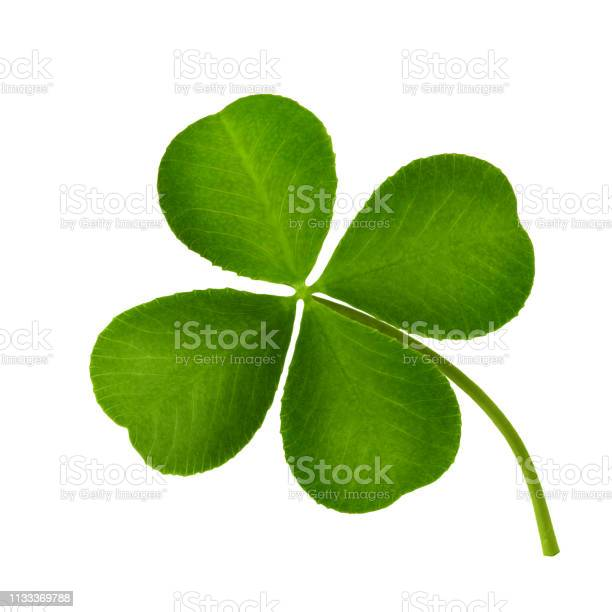 Clover leaf fourleaf isolated on white background closeup picture id1133369788?b=1&k=6&m=1133369788&s=612x612&h=s61aeg6h0ytrmwpy6oh50uuj9iaq4xqvsdo a9xwtzu=