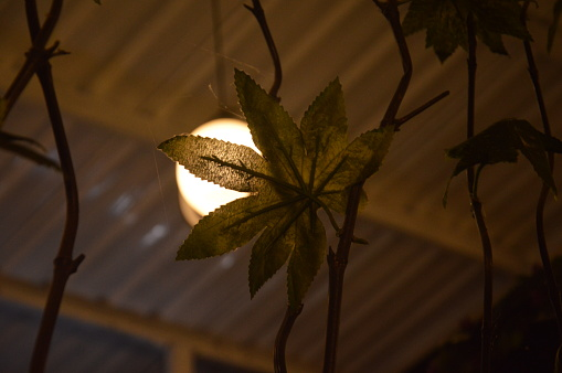 Leaf shine by the lamp