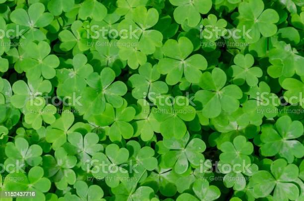Clover leafs nature background picture id1152437716?b=1&k=6&m=1152437716&s=612x612&h=86vdqhuaq2lqtjyuy8ho432cg cdua3jar1npztiksy=