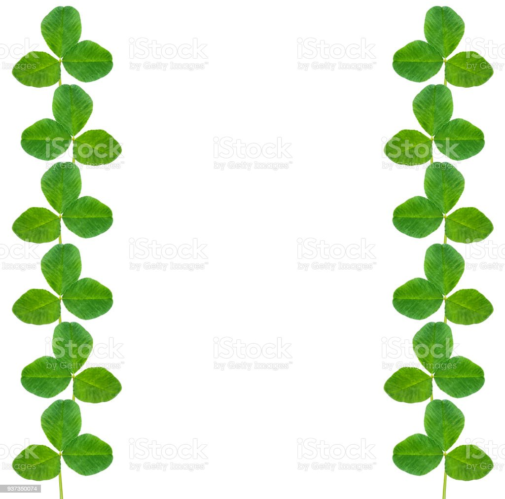 clover leaves isolated on white background. St.Patrick 's Day stock photo