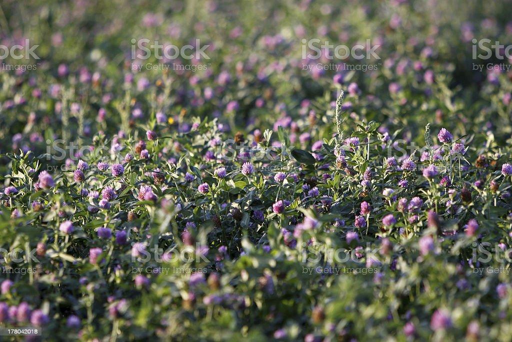 Clover meadow stock photo