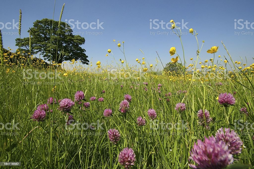 Clover Meadow stock photo