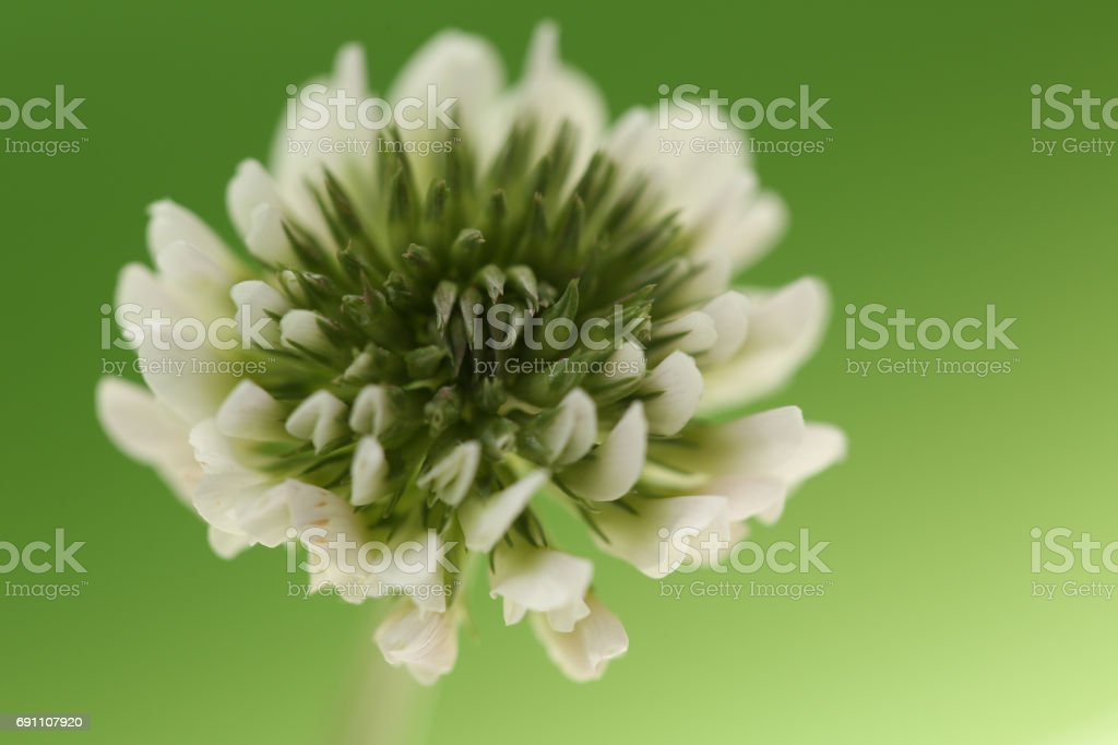 Clover on green background stock photo