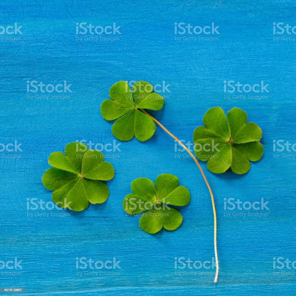 Clover on light blue wooden surface stock photo