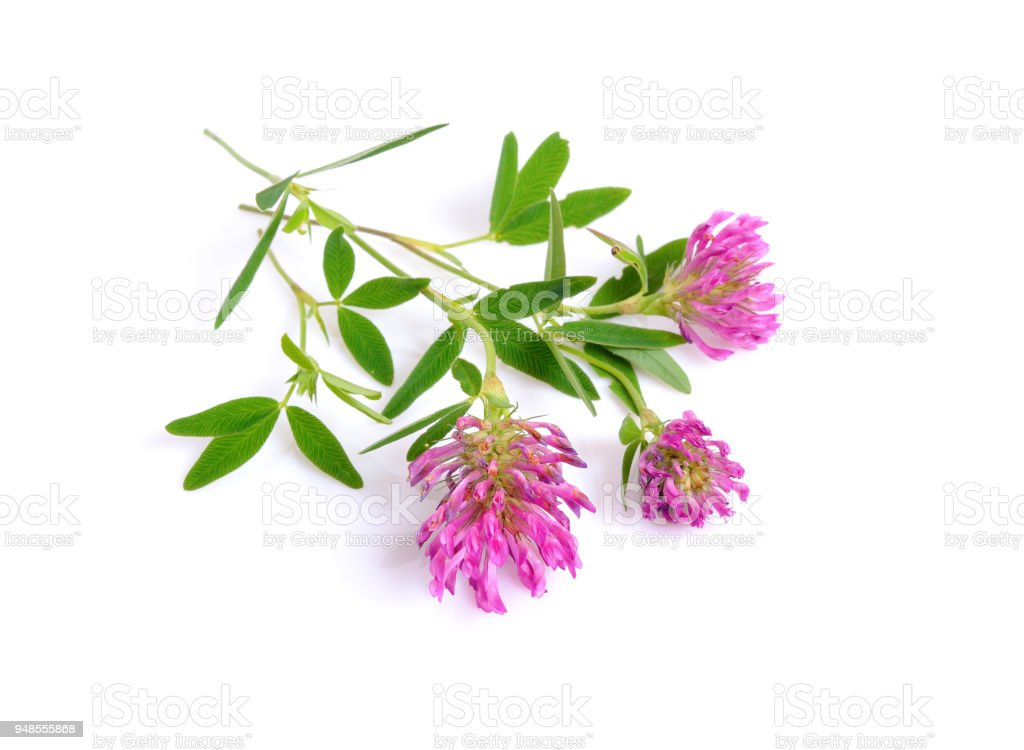 Clover or trefoil are common names for plants of the genus Trifolium. stock photo