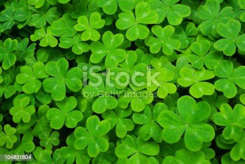 Lush green carpet of clover