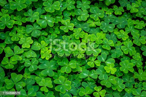 Undergrowth of clover