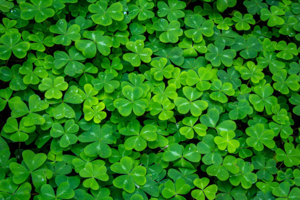 Clover Undergrowth of clover shamrock stock pictures, royalty-free photos & images