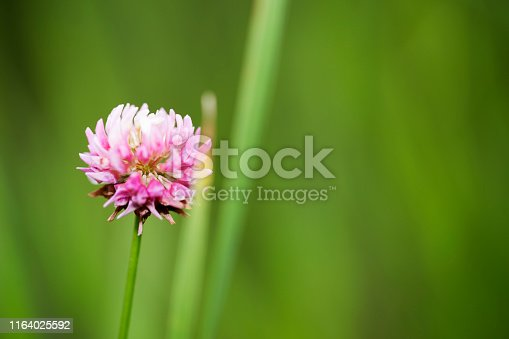 Blooming red clover and grass.