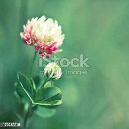 Close-up on a pink clover.