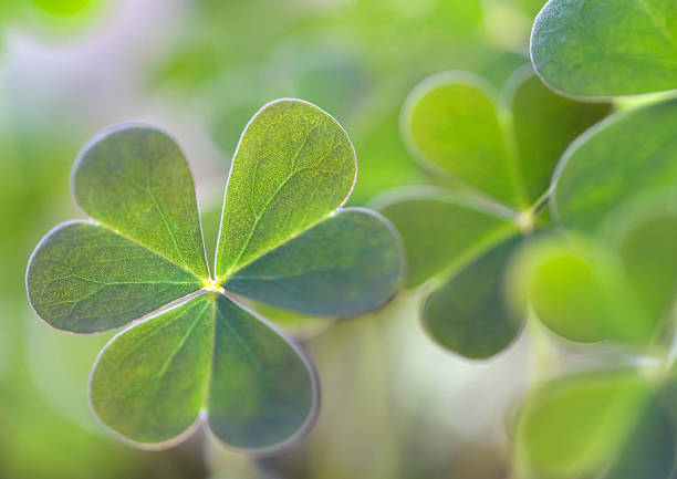 clover - luck of the irish stock photos and pictures