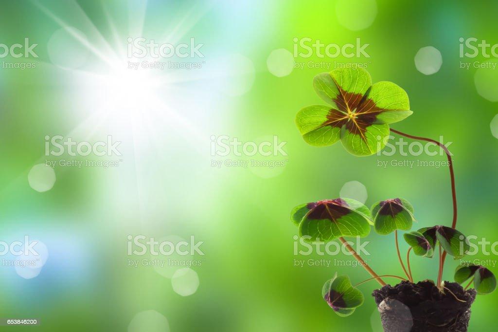 clover seedlings in springtime stock photo