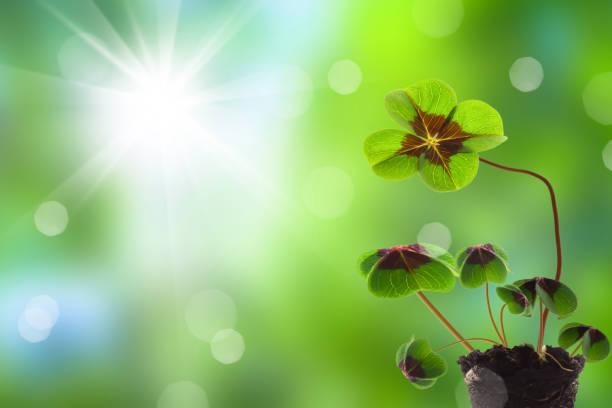 mudas de trevo na primavera - boa sorte - fotografias e filmes do acervo