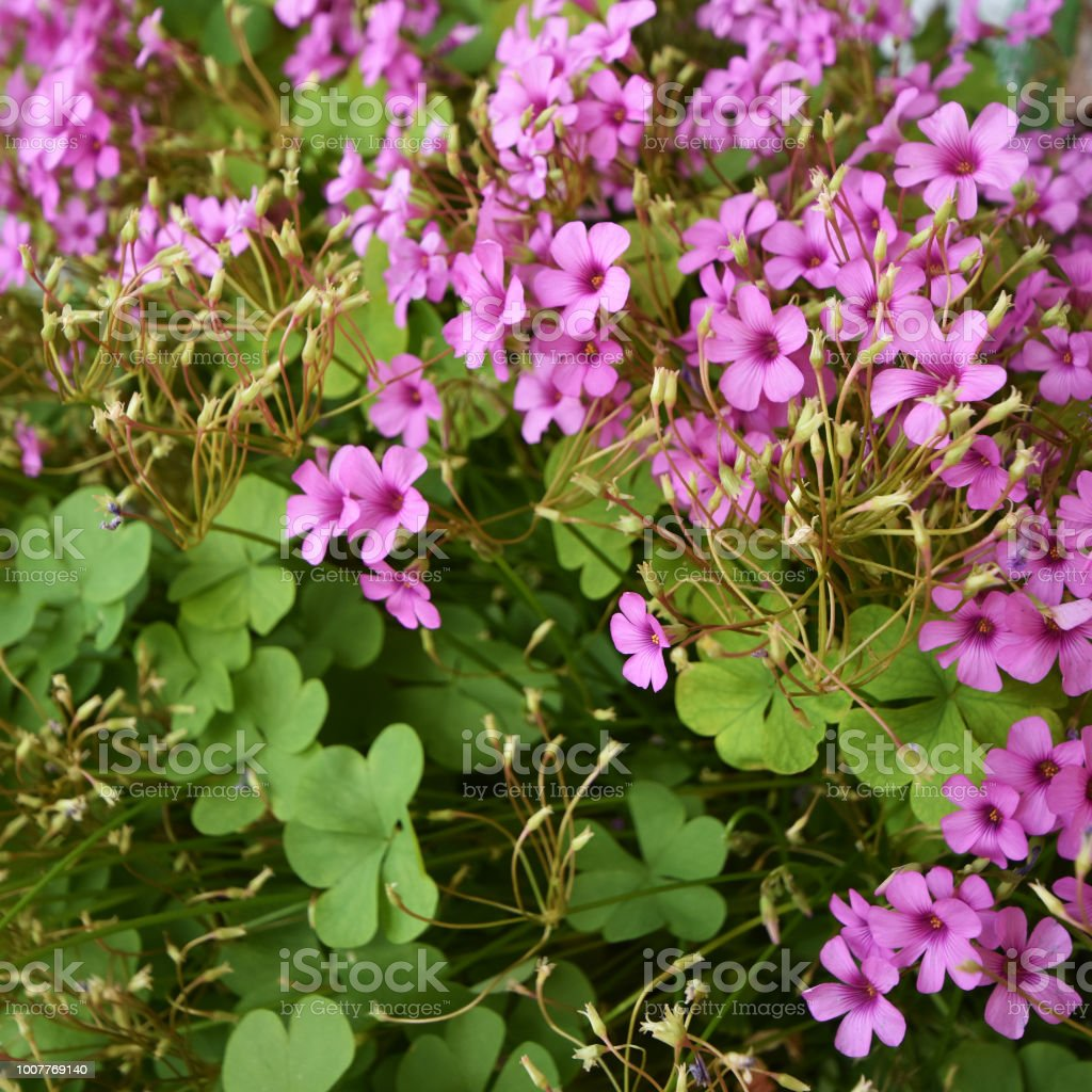 Clover With Heartshaped Leaves As A Symbol Of Luck And Small Pink