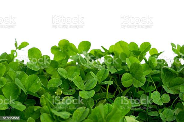 Clover with white background blank place picture id587220858?b=1&k=6&m=587220858&s=612x612&h=g2yhib9rnl3fp6hmca vpjue5mgv0g6adyp83pqocwu=