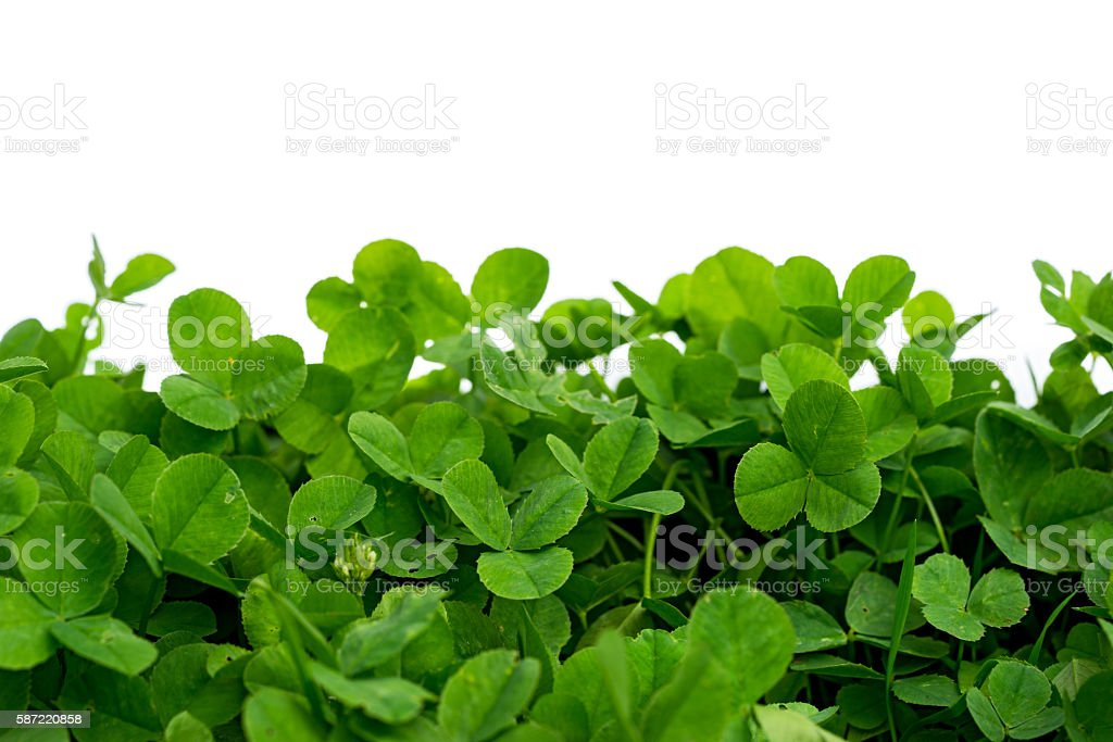 clover with white background, blank place stock photo