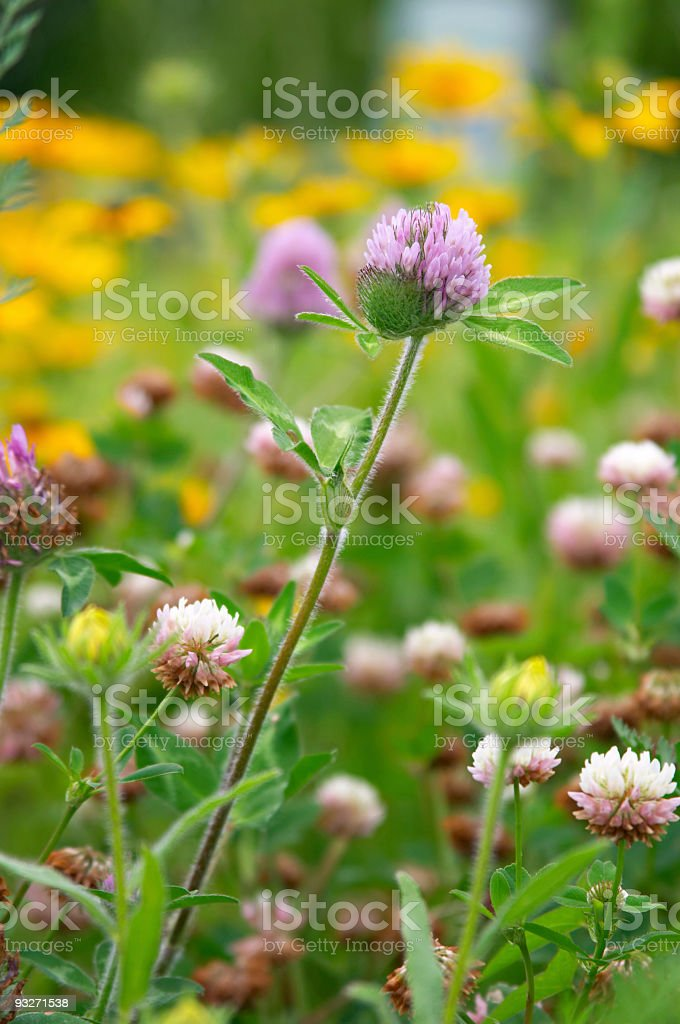 Clovers & Brown-Eyed Susans royalty-free stock photo