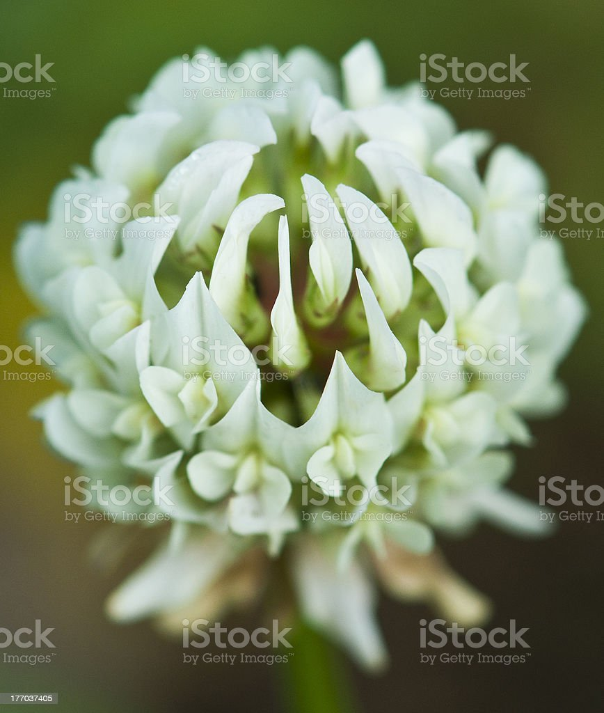 Clover's flower royalty-free stock photo